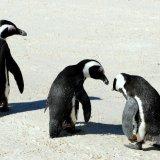 Bird - Penguin (Spheniscus Demersus) - Caring Colony