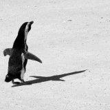 Bird - Penguin (Spheniscus Demersus) - Religious Pengiun