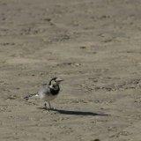 Bird - Pied Wagtail (Motacilla alba) - Wandering Wagtail