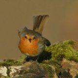 Bird - Robin (Erithacus rubecula) - At the Ready