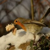 Bird - Robin (Erithacus rubecula) - Now that's what I call a Take-Away!