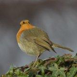 Bird - Robin (Erithacus rubecula) - Snooty