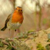 Bird - Robin (Erithacus rubecula) - Curious