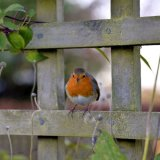 Bird - Robin (Erithacus rubecula) - In the Fence