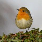Bird - Robin (Erithacus rubecula) - On the Holly