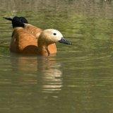Bird - Ruddy Shelduck (Tadorna Ferruginea)