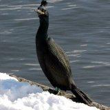 Bird - Shag (Phalacrocorax aristotelis)