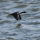 Bird - Shag (Phalacrocorax aristotelis) - Low Level over the River Dee