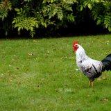 Bird - Silver Laced Wyandotte Cockerel (Gallus gallus) - On the Lawn