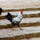 Bird - Silver Laced Wyandotte Cockerel (Gallus gallus) - Why did the Chicken cross the road...