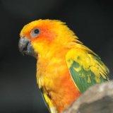 Bird - Sun Conure (Aratinga solstitialis)