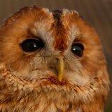Bird - Tawny Owl (Strix aluco)