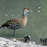Bird - West Indian Whistling Duck (Dendrocygna arborea) - With two Chicks