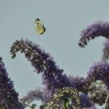 Butterfly - Large White (Cabbage) Butterfly (Pieris rapae) Butterfly in Flutterby Mode