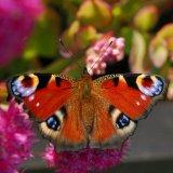 Butterfly - European Peacock (Aglais io)
