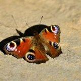 Butterfly - European Peacock Butterfly (Aglais io) Sunbathing