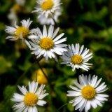 Flower - Daisy (Bellis perennis) - Daisy Chain