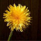 Flower - Dandielion (Taraxacum) - Floret