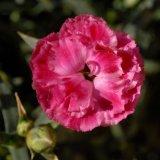 Flower - Dianthus Odessa Easy Pink