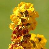 Flower - Erysimum Stalk
