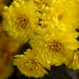 Flower - French Marigolds (Tagetes patula) Yellow Bunch