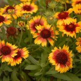 Flower - Gloriosa Daisy-Black-Eyed Susan (Rudbeckia hirta)
