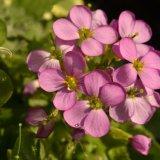Flower - Lilac Flowers