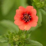 Flower - Potentilla