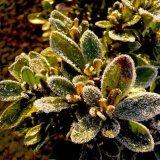 Flower - Primula (Primula hortensis) in Winter