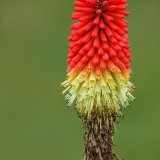 Flower - Red Hot Poker (Torch Lily, Liliaceae)