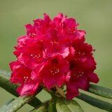 Flower - Rhododendron