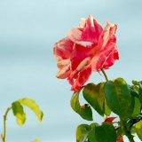 Flower - Rose (Rosa) - Jersey Rose