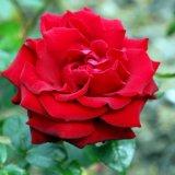 Flower - Rose (Rosa) - St.Valentine's Day Rose