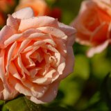 Flower - Rose (Rosa) - Pink Rose with Raindrops