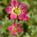Flower - Saxifraga Red (Upright)