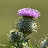 Flower - Spear or Bull Thistle (Cirsium vulgare) Upright with green background