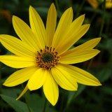 Flower - Sunflower (Helianthus annuus)