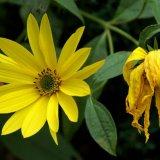Flower - Sunflower (Helianthus annuus) - That's Life