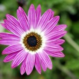Flower - Swan River Daisy (Brachycome)