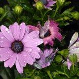 Flower - Swan River Daisy (Brachycome) in the Rain