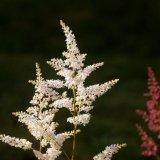 Flower - Astilbe (Astilbe arendsii)
