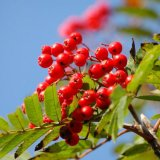 Summer - Rowan Berries