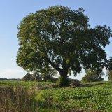Tree - Faucheldean Tree in summer