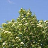 Tree - Rowan Tree Blossom