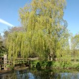 Tree - Willow Tree over the River Wey