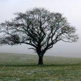 Winter - Misty Tree