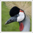 """Grey Crowned Crane"""