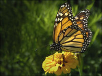 """Monarch Butterfly"""