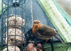 Robin on a feeder
