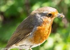Robin-14